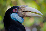 beautiful hornbill
