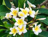 Fresh frangipani flower