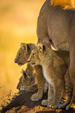 Hunting Lion Cubs