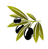 Leafy green twig with ripe black olives