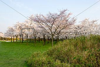 Richly blossoming sakura garden with the sun shining