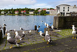 seagulls near a pond in the center of Reykjavik