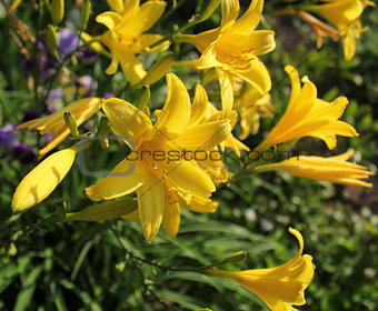 Yellow Day lily or Hemerocallis