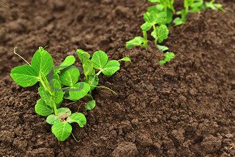 Small green pea growing in garden