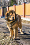 Dog breed Tibetan Mastiff