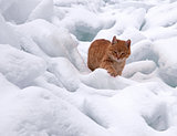 Red cat on white snow