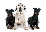 Manchester terriers and dalmatian