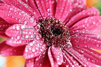 Wet Pink Gerber Daisy