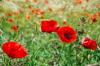 Close up of a poppy field