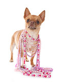 chihuahua and collars