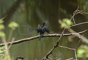 Little Cormorant (Phalacrocorax niger)