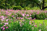 Pink Dianthus flower (Dianthus chinensis)