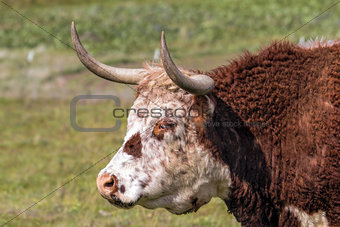 Cattle with Horns Side Portrait
