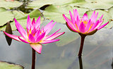 Beautiful photo of pink lotus .