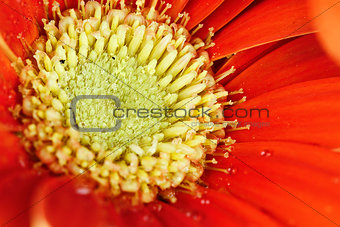 Macro of a Red Gerber Daisy