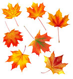 set of autumn maple leaves isolated on white