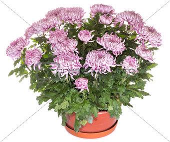 Chrysanthemums in flowerpot