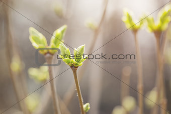 first spring buds on lilac bush