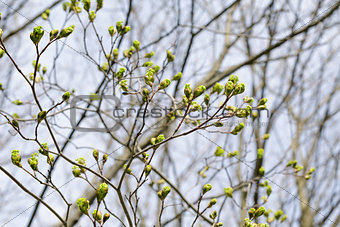 first maple tree buds