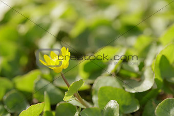 small yellow flower blossom on meadow