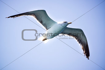 A cormorantl flies in the clear blue sky.