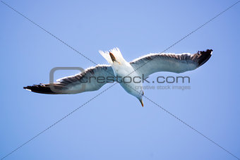 A Seagull flies in the clear blue sky.