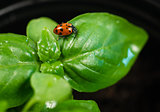 New Start PLant Sweet Basil Herb Leaf Ladybug Insect