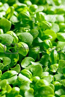 small plants of basil