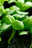 small plants of basil