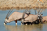 Gemsbok antelopes drinking
