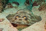 Gorgona Guitarfish