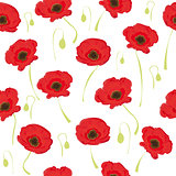 poppy flowers on white background