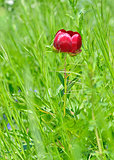 wild red peony flower on field