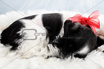 Sleeping Parti Color Miniature Schnauzer