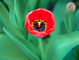 Red spring tulip with bud