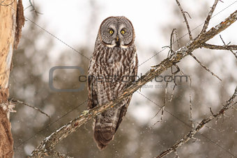A perched Great Grey Owl