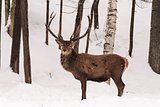 Elk in a winter scene