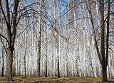 Spring in sunny birch grove