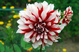 Bright white red Dahlia