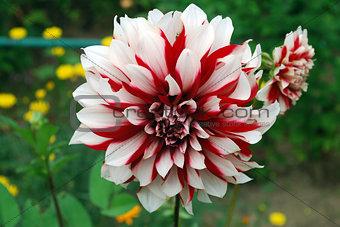 Bright white red Dahlia