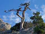 Dead pine tree on a cliff.