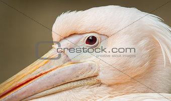 Adult pelican resting