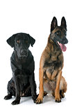 malinois and labrador retriever