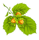 Hazelnuts on green leaves
