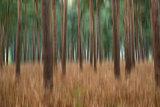 Landscape image pine forest blur artistic effect