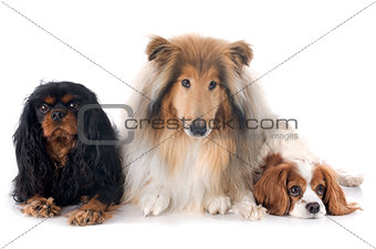cavalier king charles and collie