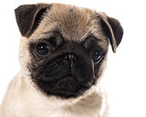pug puppy portrait