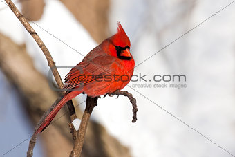 cardinal rests in snow covered forest