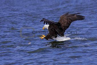a focused bald eagle attacks its prey