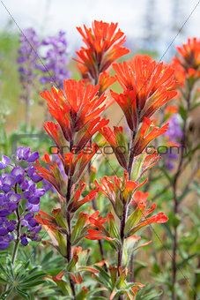 Red Indian Paintbrush Wildflowers Closeup